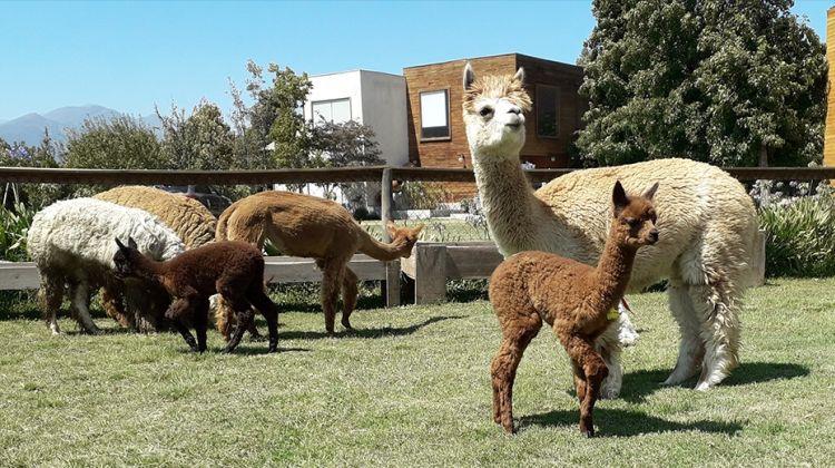 Inca Adventure Private Tour: Alpacas, Petroglyphs & Wine