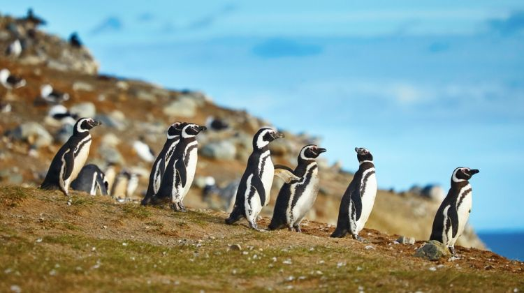 Isla Magdalena's Penguins Colony Tour (PRIVATE)