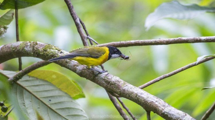 Komodo and Sano Nggoang Flores Birding