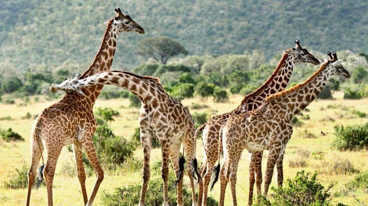 Maasai Mara Luxurious Lodge Safari: Three Days