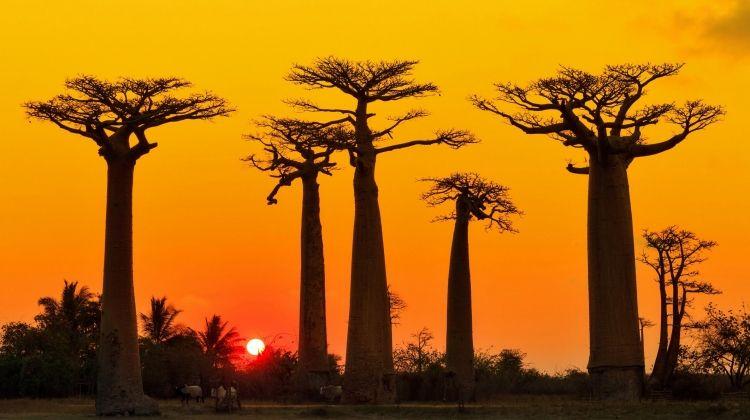 Madagascan Discoverer