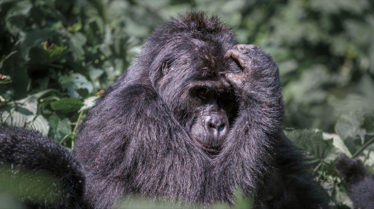 Magic of the Mountain Gorilla 5 Days