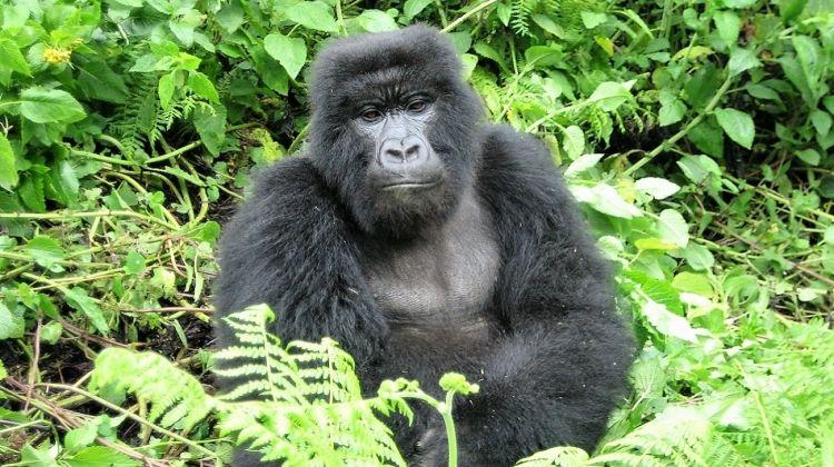 Mountain Gorillas to the Mara 18 Days