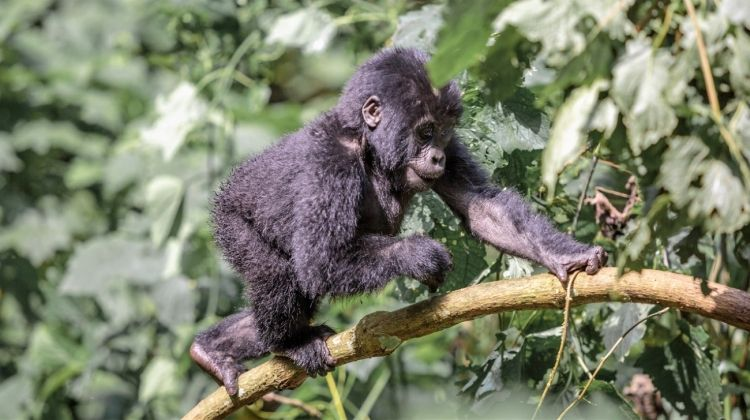 Mountain Gorillas to the Mara Accommodated 18 Days