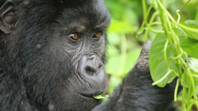 Rediscover Gorillas, Chimps  the Nile 9 Days