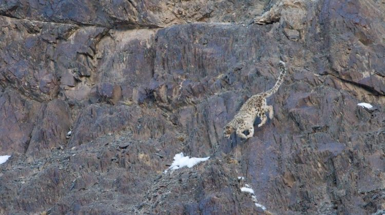 Search for Snow Leopards with Valerie Parkinson