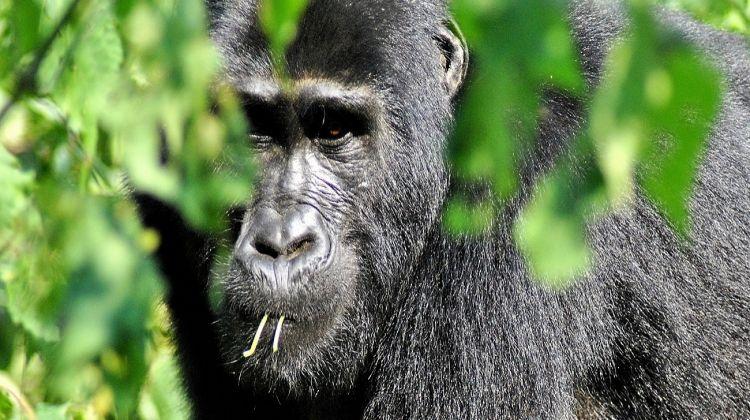 Troop to the Gorillas 6 Days