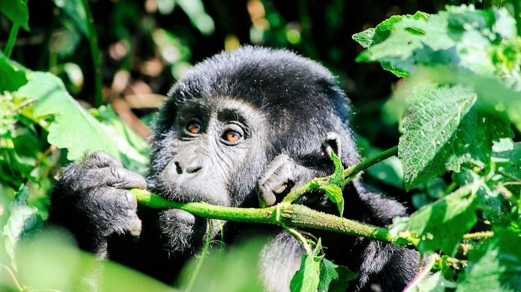 Troop to the Gorillas Accommodated 6 Days