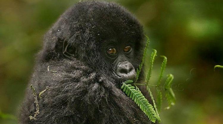 Uganda Gorilla & Lake Safari 4D/3N