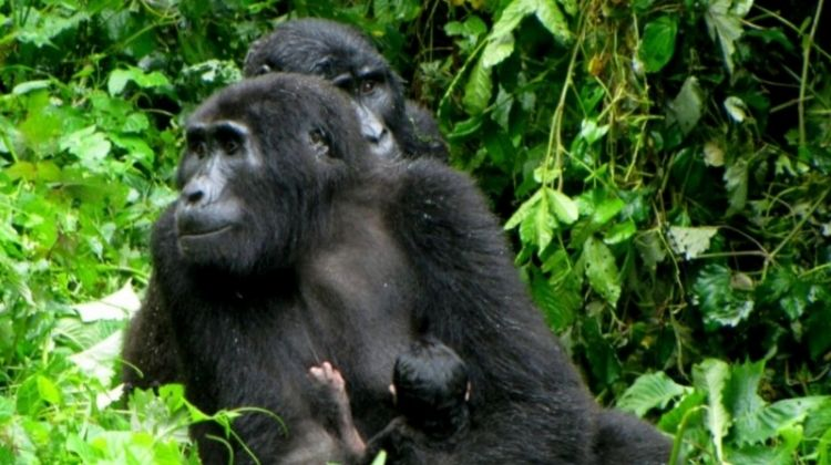Uganda Gorilla Safari Air-Expedition 3D/2N