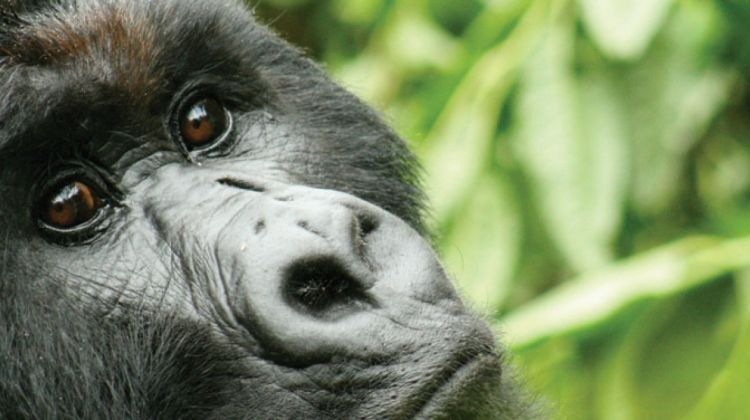Vic Falls to Gorillas
