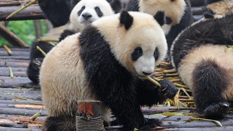 Warriors And Panda Bears, Private Tour